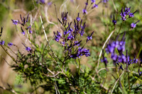 Canarian Lavender on the trail R. T. Traviesa